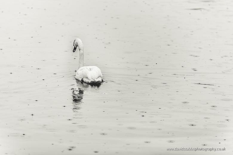swans in lake rain