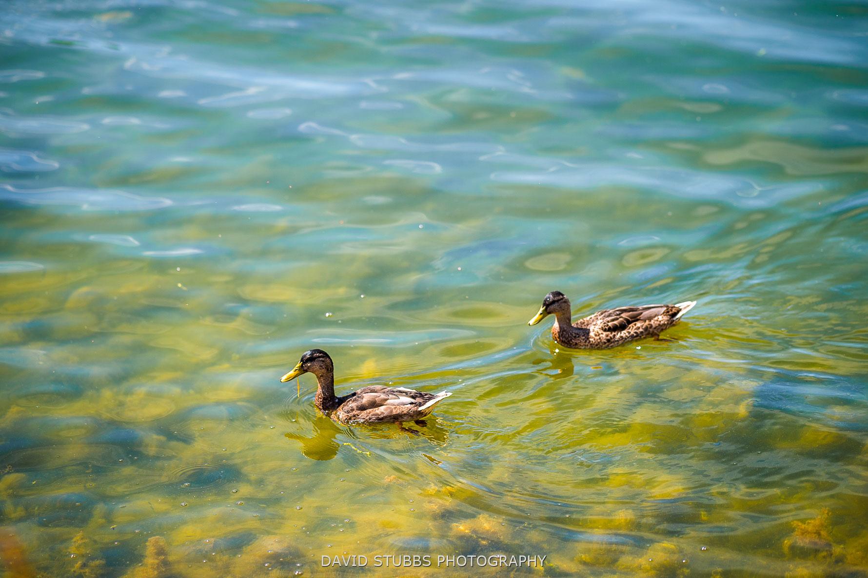 ducks on rutland water