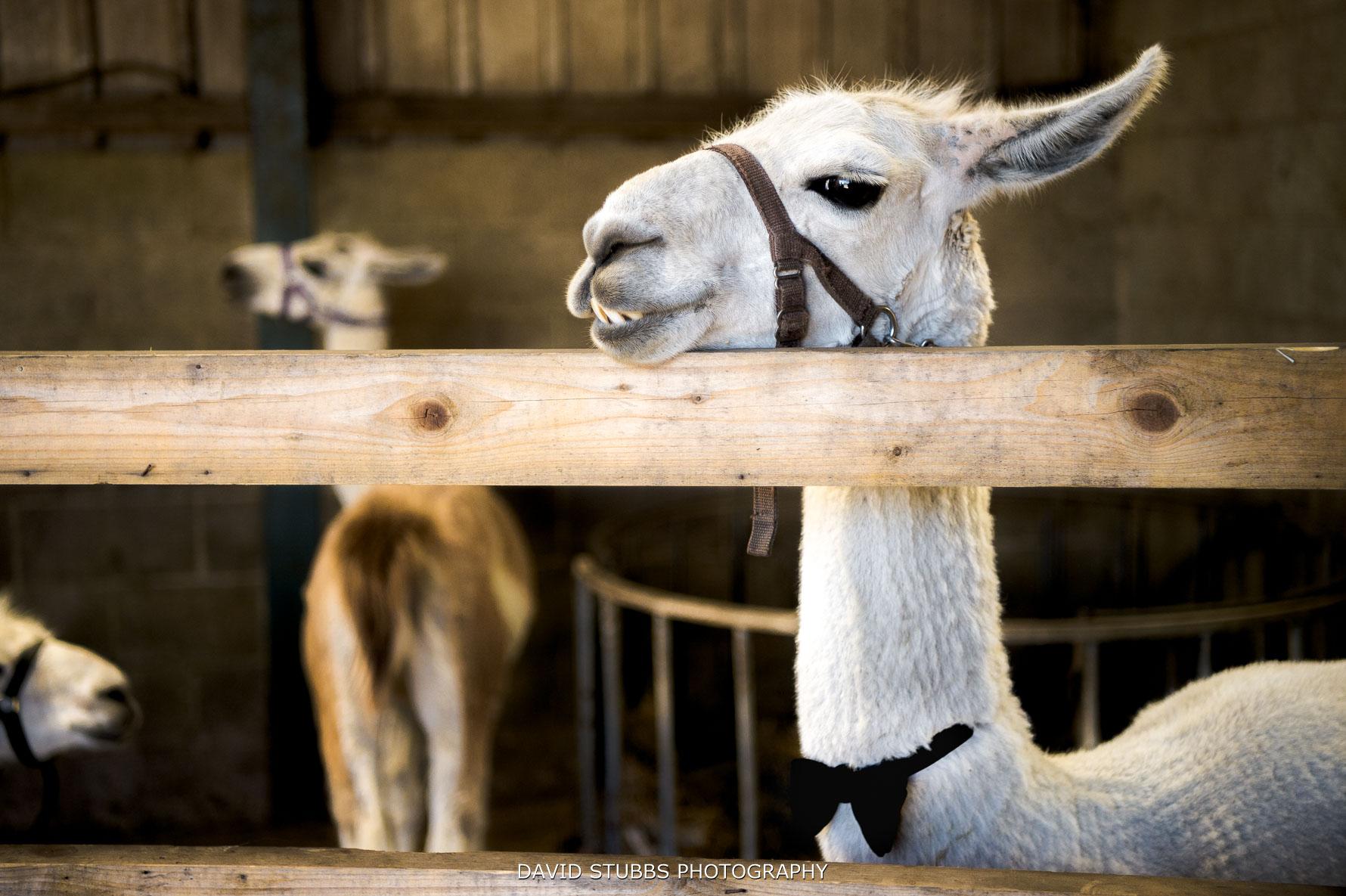 llamas in bow ties at wellbeing farm